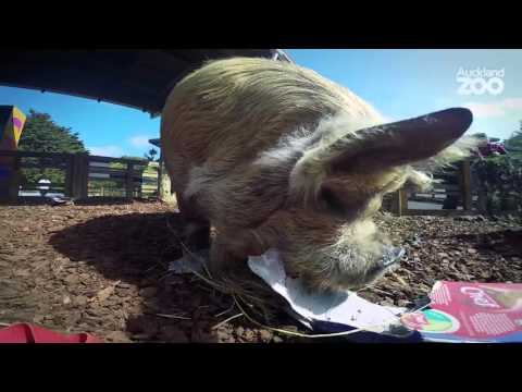 Thumbnail: Zoo Tales - A pig's eye view of Auckland Zoo