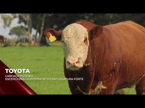 Touro Toyota - Hereford indicado para IATF - RENASCER BIOTECNOLOGIA VIDEO