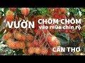 Vườn chôm chôm cồn Sơn du lịch khám phá Cần Thơ | ZaiTri