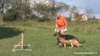 Обучение немецкой овчарки прыжку через барьер