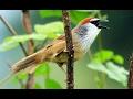Burung Kaso Kaso Gacor &jinak