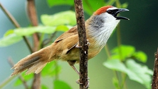 Video burung KASO KASO GACOR &JINAK.. download MP3, 3GP, MP4, WEBM, AVI, FLV Juli 2018