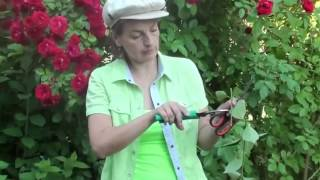 Плетистая роза, размножение и уход за ней.(Это видео создано с помощью видеоредактора YouTube (http://www.youtube.com/editor), 2014-07-02T06:23:45.000Z)