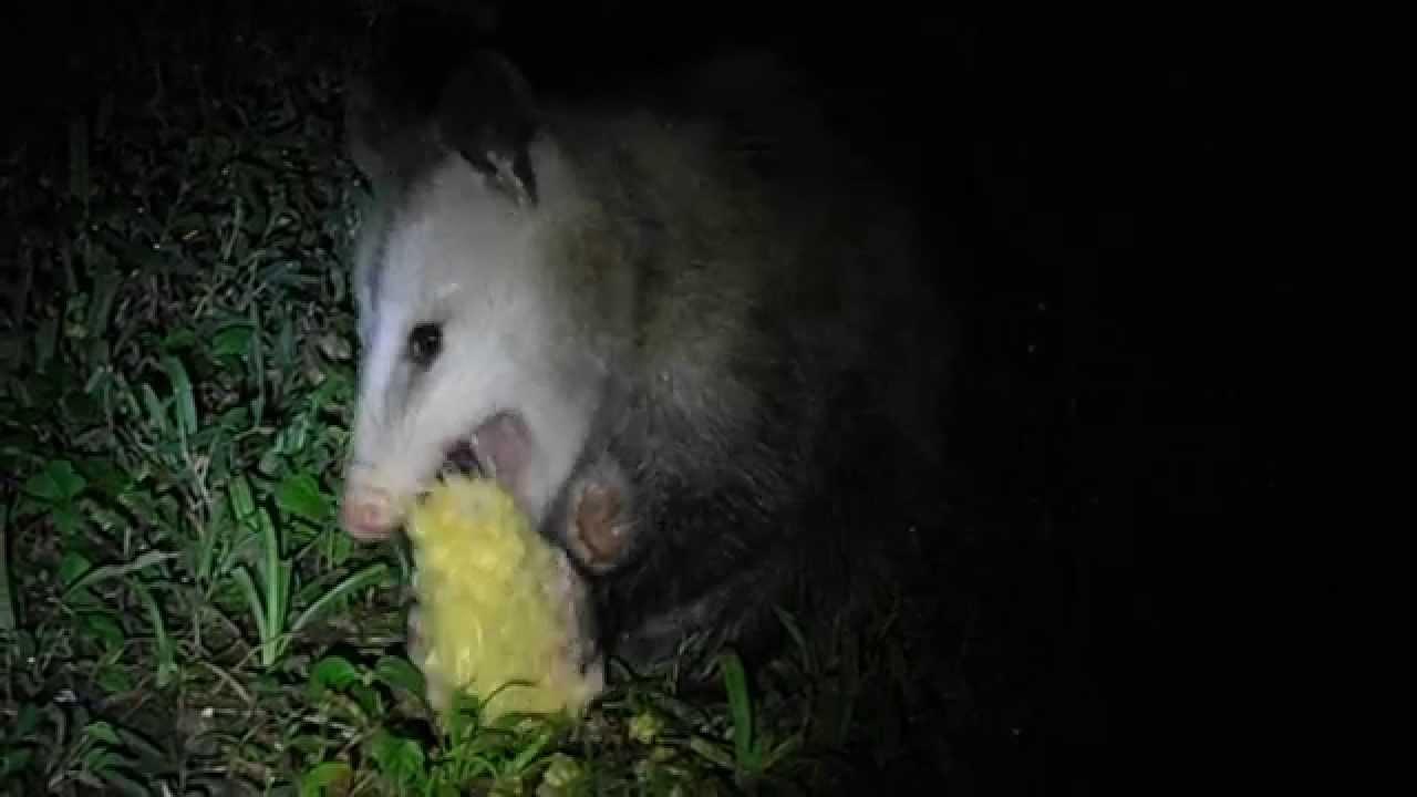 Opossum eating corn-cobs (Für David)