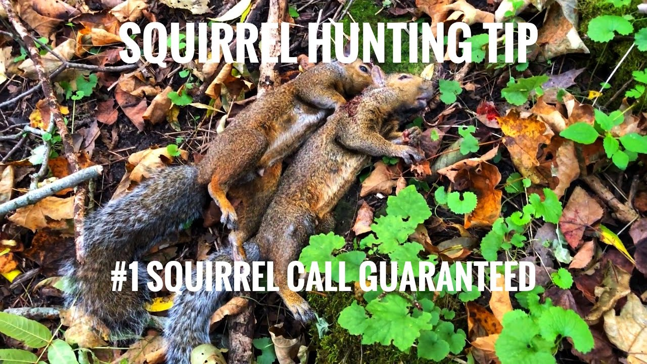 Squirrel Distress Calll Squirrel Hunting Call