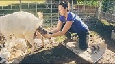 Assisting with a Baby Goat BIRTH on the Homestead!