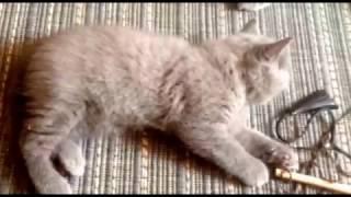 Британский котенок и его мама.