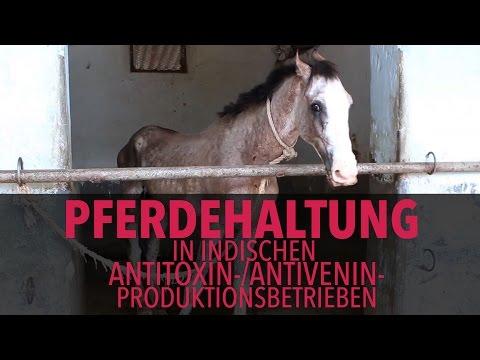 Download Youtube: Pferdehaltung in indischen Antitoxin-/Antivenin-Betrieben / PETA