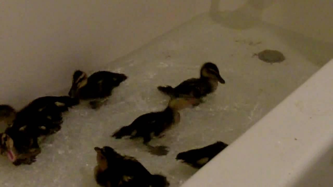 2 Week Old Ducklings In The Bathtub - YouTube