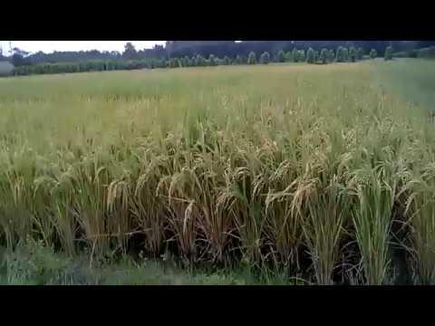 Morphology of Rice by Digital Herbarium of Crop Plants, BSMRAU