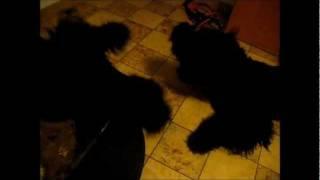 Black Russian Terrier Terror Monster In The Basement !! Gr Grr Grrrr