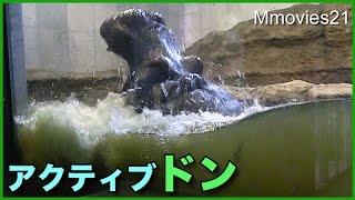 Hippopotamus,Don (male,47 years old) at Maruyama zoo,Hokkaido,Japan...