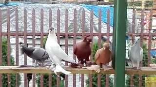 Gołębie ozdobne-Krymki,Wywrotki żałobniki i inne