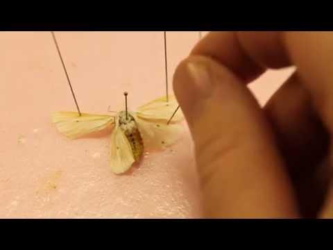 How I Pin A Moth & True Bug