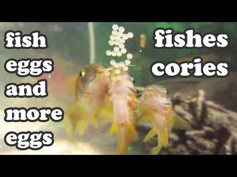 Cory Cories Tropical School Of Fishes Laying Eggs Babies Fre