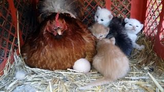 Unreal - Chicken And Kittens Together