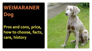WEIMARANER. Pros and cons, price, how to choose, facts, care, history