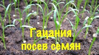 видео Гацания (58 фото): однолетняя, многолетняя, выращивание из семян, посадка и уход в открытом грунте, домашних условиях