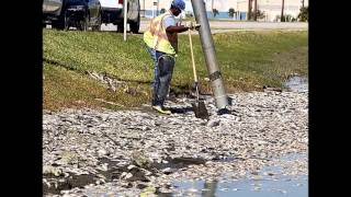 More Than 15,000 Dead Fish Found At Lake Madeline In Galveston, Texas (oct 31, 2012)