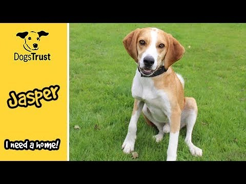 Jasper is an active Foxhound looking for a special home | Dogs Trust Manchester