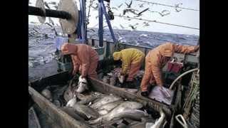 Northwest Atlantic Cod Declining
