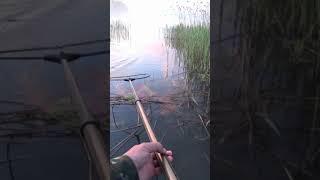 Поймали сазана на диком озере shorts