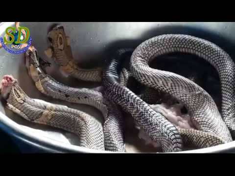 How To Cook Cobra - Cobra Hunting - Cooking Snake And Cobra In Cambodia
