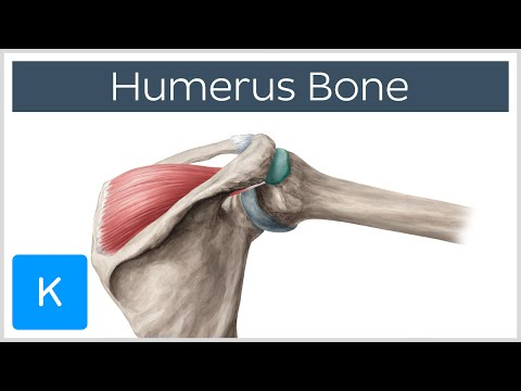 Humerus Bone - Anatomy, Definition & Function - Human Anatomy | Kenhub