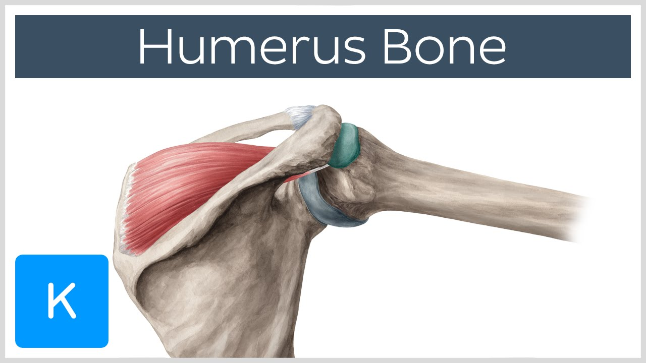 Humerus Bone Anatomy Definition Function Human Anatomy