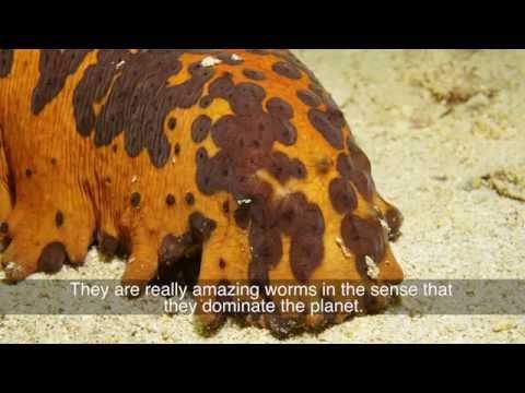 Sea Cucumbers Youtube