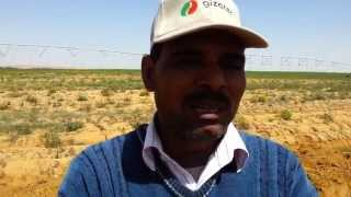 High Quality Potato with Vigro fertilizers. Emad of Daltex.