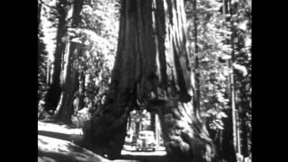 Yosemite Nature Notes - 11 - Big Trees
