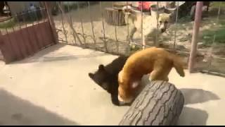 Медвеженок против собаки