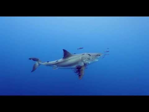 Video Of The Week | Majestic Great White Shark