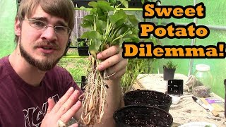 Sweet Potato Dilemma! I Didn't Plan on This to Happen!