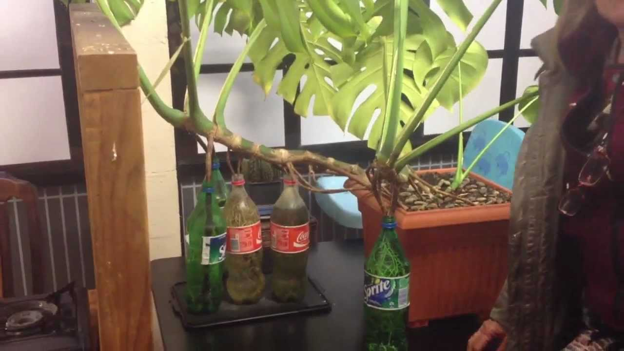How To Root Monstera Deliciosa In A Bottle Youtube