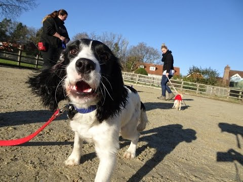 Rosie - Sprocker - 3 Weeks Residential Dog Training