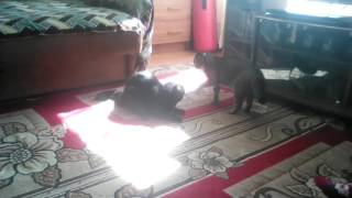 Кошки дерутся играя!!! Смотреть всем!!!! Очень смешно!!!