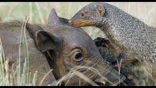 Robotic Warthog Groomed by Mongoose