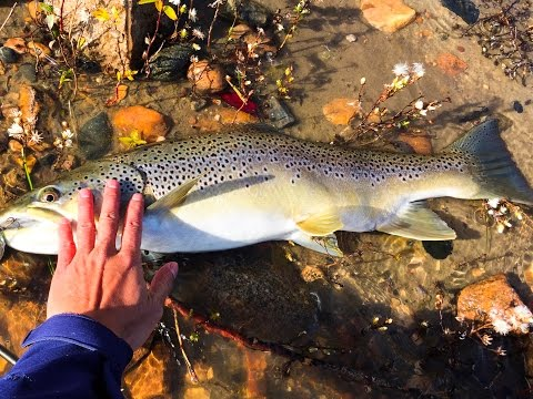 Hungry Brown Trout in the South Saskatchewan River (SSR)