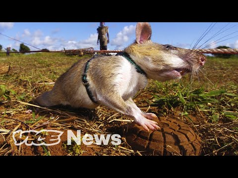 Giant-Rats-Are-Sniffing-Out-Landmines-and-Tuberculosis