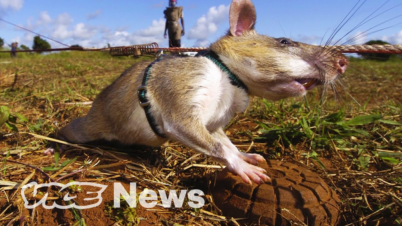 Giant Rats Are Sniffing Out Landmines and Tuberculosis VICE NEWS 25NOV20
