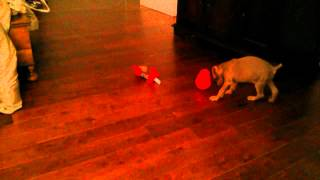 10 Week  Puppy And Kong Wobbler