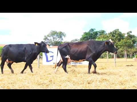 LOTE 58 NOVILHA ESPERANÇA e NOVILHA 306