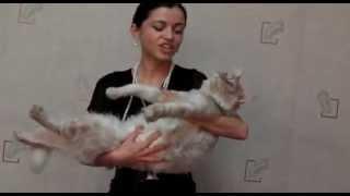 Вотан викинг 6 мес, котенок мейн-кун, питомник Лирикум