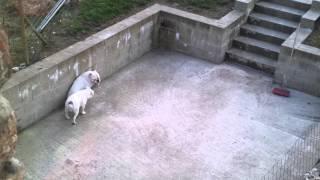 English Bulldog With English Bulldog X Boxer