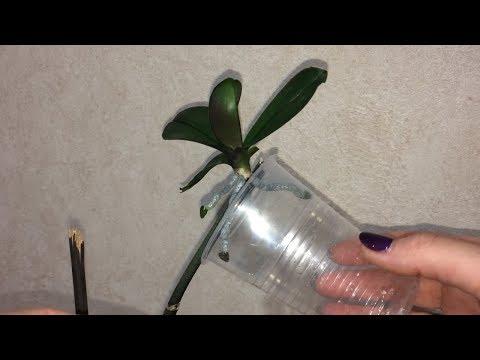 Как отделить детку орхидеи от цветоноса