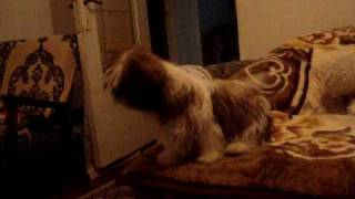 Shih Tzu Dog Afraid To Jump From Bed