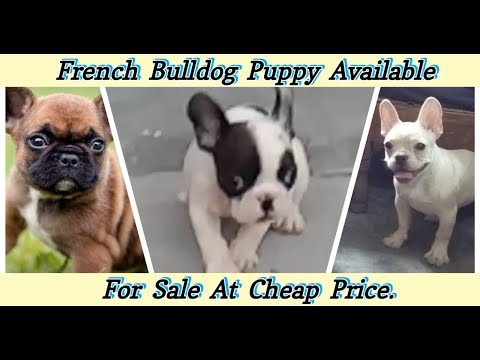French Bulldog Puppy Available For Sale In INDIA At Low Price / #FrenchBullDog #WholesaleDogPrice