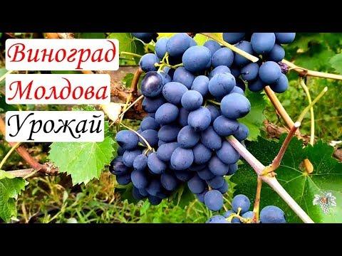 Вопрос: Почему в Молдове хорошо растёт виноград?